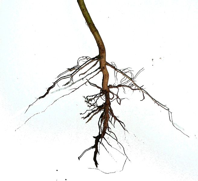 an image of a plant root on a white background